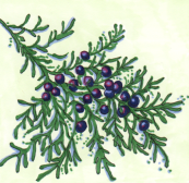 drawing of juniper branch