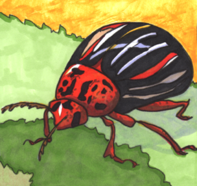 potato-beetle