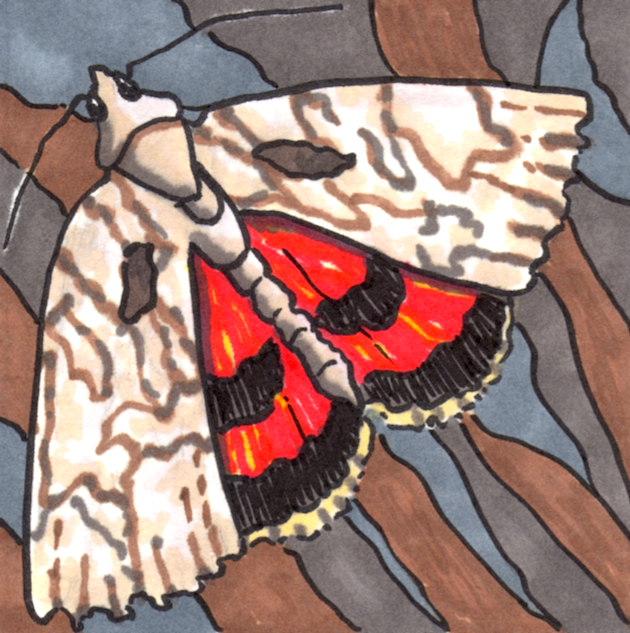 underwing-moth