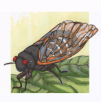 Seventeen-Year Cicada