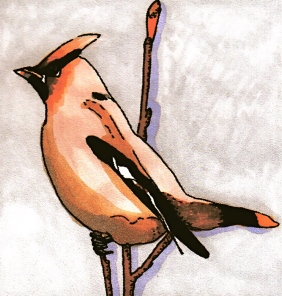 waxwing-revised